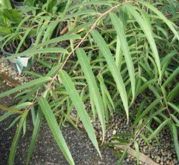 Stachyurus salicifolia 1