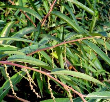 Stachyurus salicifolia 8