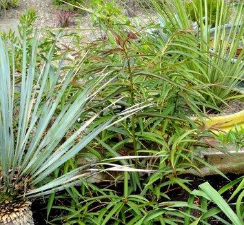 Stachyurus salicifolia 9