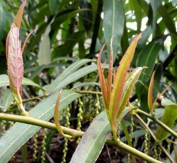 Stachyurus salicifolia 13