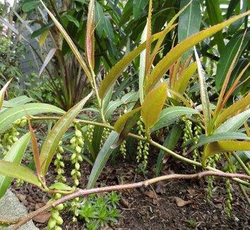 Stachyurus salicifolia 14