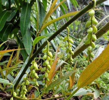 Stachyurus salicifolia 15