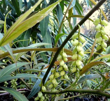 Stachyurus salicifolia 18