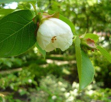 Stewartia pseudocamellia 2 flower