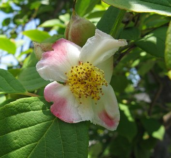 Stewartia pseudocamellia 3 flower