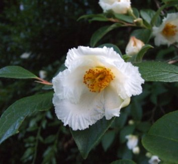 Stewartia pseudocamellia 8 flower