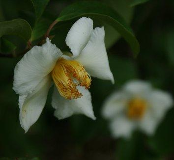 Stewartia pseudocamellia 9 flower