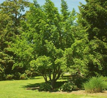 Stewartia pseudocamellia 14 form