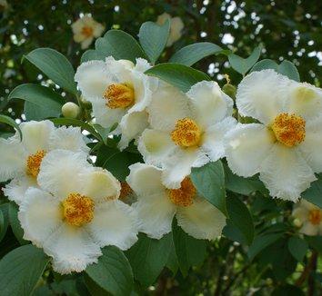 Stewartia pseudocamellia 1 flower