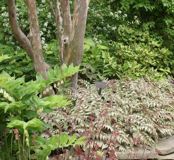 Stewartia pseudocamellia 17 trunk