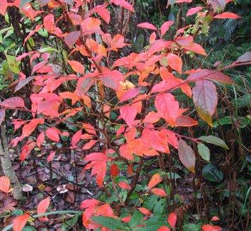Stewartia pseudocamellia 18 form