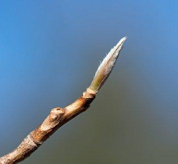 Stewartia pseudocamellia 25