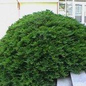 Juniperus 'Tamariscifolia'