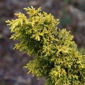 Juniperus 'Plumosa Aurea'