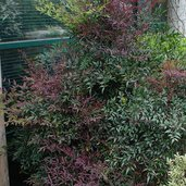 Nandina 'Plum Passion'®