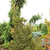 Pinus 'Arnold Arboretum Dwarf'