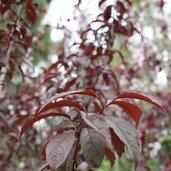 Prunus 'Crimson Pointe™' 19564