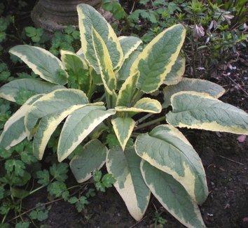 Symphytum x uplandicum 'Axminster Gold' 8