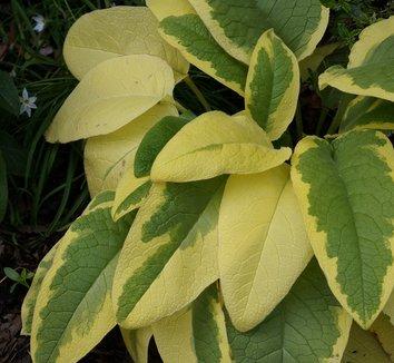 Symphytum x uplandicum 'Axminster Gold' 12