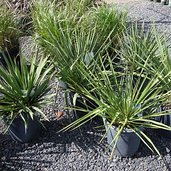 Yucca 'Ivory Tower'