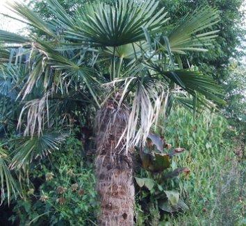 Trachycarpus fortunei 1 form