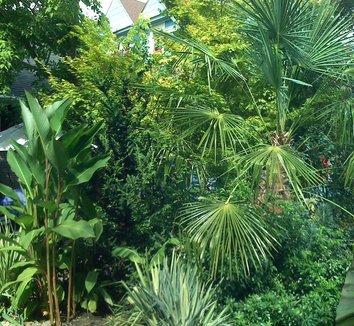 Trachycarpus fortunei 10