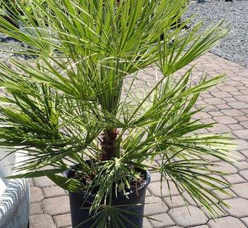 Trachycarpus fortunei 13