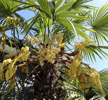 Trachycarpus fortunei 16 flower