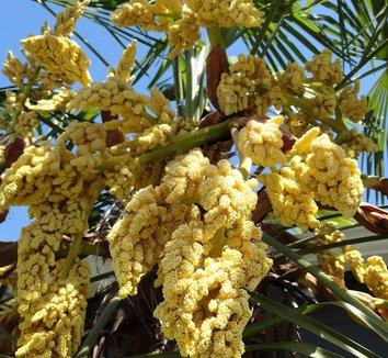 Trachycarpus fortunei 14 flower
