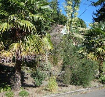 Trachycarpus fortunei 18 form