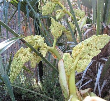 Trachycarpus fortunei 19 flower