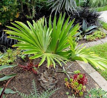 Trachycarpus fortunei 23