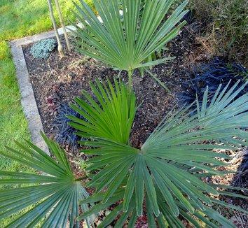 Trachycarpus fortunei 21