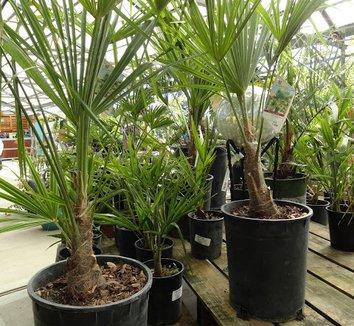 Trachycarpus fortunei 24