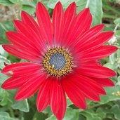 Arctotis 'Red'