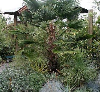 Trachycarpus wagnerianus 3 form