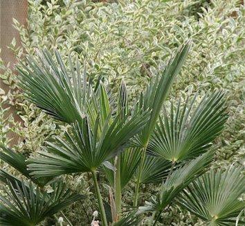 Trachycarpus wagnerianus 2