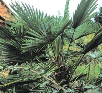 Trachycarpus wagnerianus 4 form
