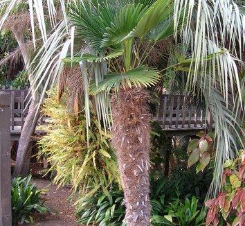 Trachycarpus wagnerianus 6