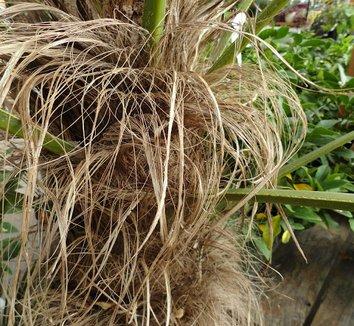 Trachycarpus wagnerianus 12