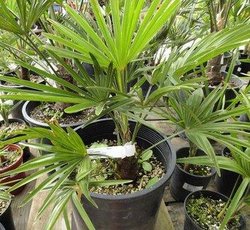 Trachycarpus wagnerianus 14