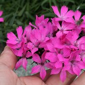 Dianthus 'Clusterhead Pink'