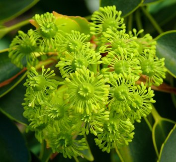 Trochodendron aralioides 4 flower