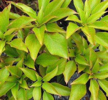 Trochodendron aralioides 6
