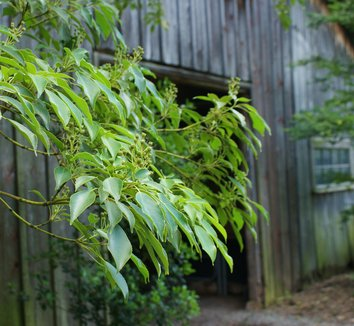 Trochodendron aralioides 8