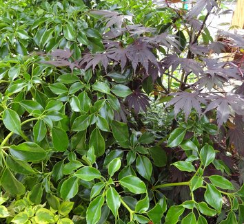 Trochodendron aralioides 10