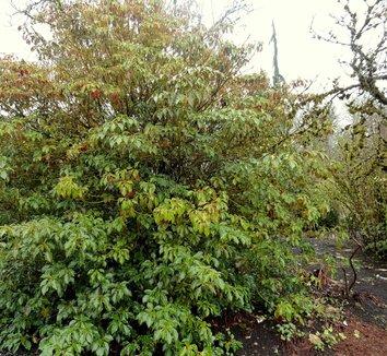 Trochodendron aralioides 11 form