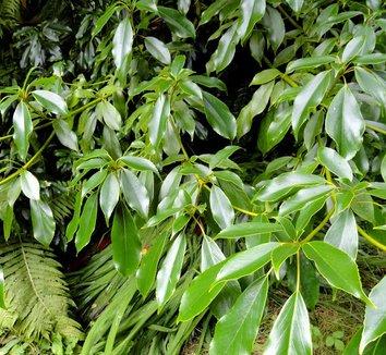 Trochodendron aralioides 12