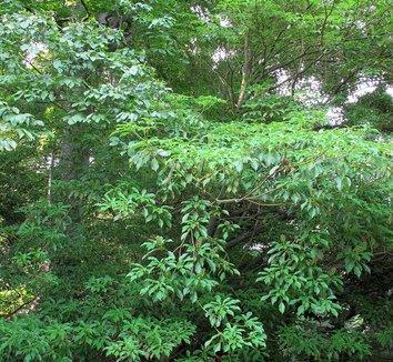 Trochodendron aralioides 14