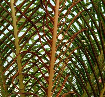 Blechnum gibbum 8 folaige